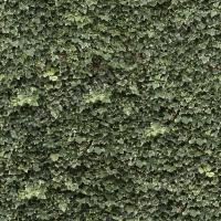 photo texture of ivy seamless 0001